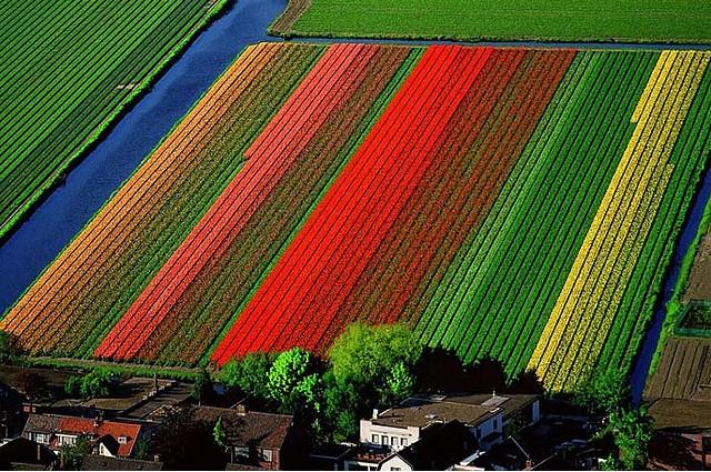 tulip-fields-lisse-netherlands