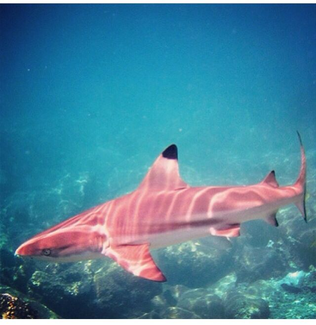 It has been caught in the waters of Cabo San Lucas a pink shark
